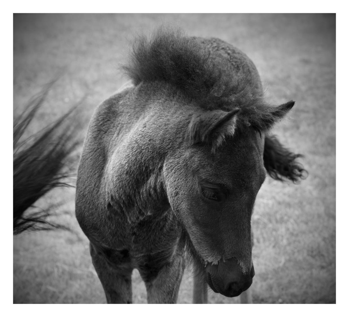 Baby Icelandic Pony